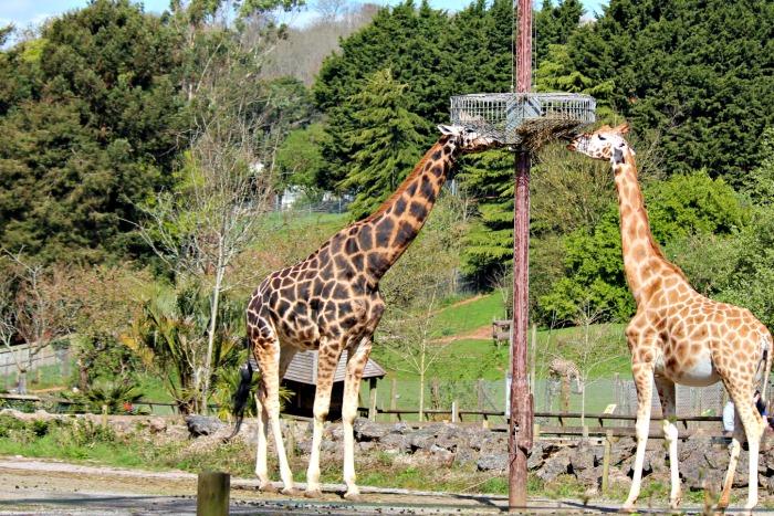 Giraffe Paignton Zoo