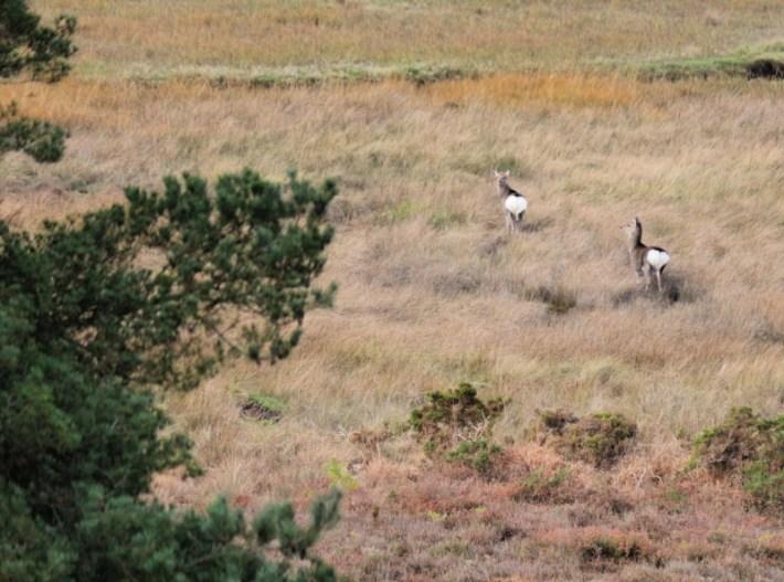 Sika-Deer-Arne
