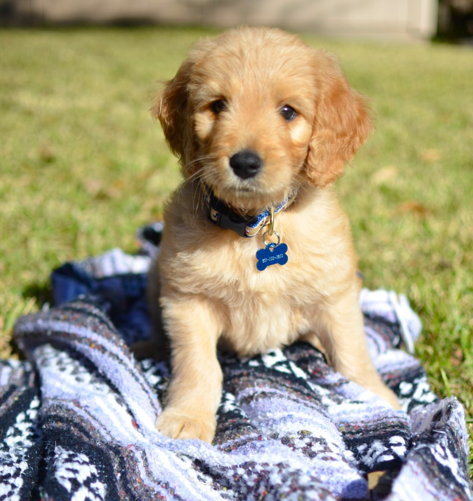 Chelsea+Morgan>> Puppy Beau - There is a new Goldendoodle in town, check out the blog for more cuteness!