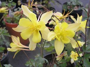 Perennials and wild flowers chelsea nursery this columbine produces large fragrant bright yellow flowers which bloom all summer they are native to hanging gardens of colorado utah and new mexico mightylinksfo Gallery