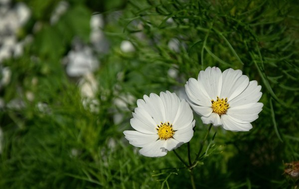 Two white daisies in the grass