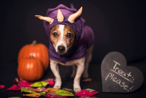 jack russell terrier dressed up for halloween