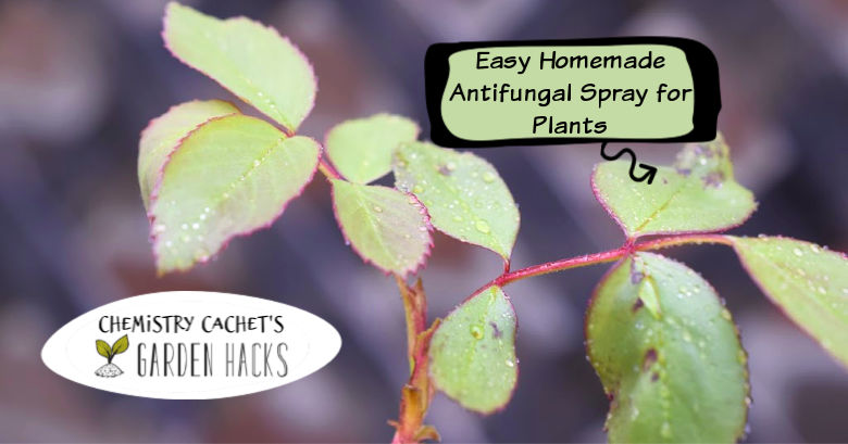 Easy Homemade Fungicide Spray for Plants - Two Ingrents!! on homemade plant hormone, sulfur plant fungicide, homemade plant water, homemade plant fertilizer, homemade plant insecticide, homemade plant food, homemade plant pesticide,