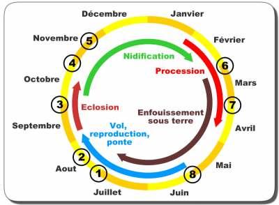 cycle biologique processionnaire du pin
