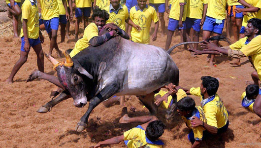 TN taking efforts to resume Jallikattu: Minister