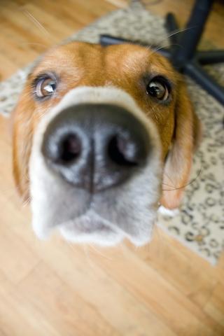 Nosey Beagle