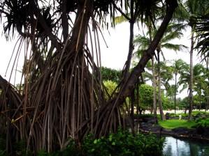 Banyan tree at the Grand Hyatt Kauai.