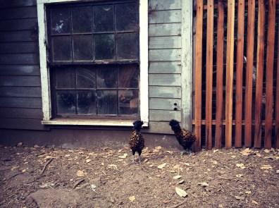 One of many chickens at Glendeven Inn, near the Stevenscroft building.