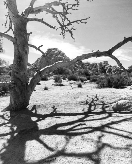 Tree and shadow, Joshua Tree National Park.