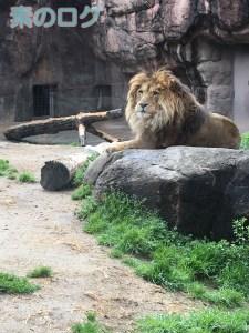 天王寺動物園 ライオン オス