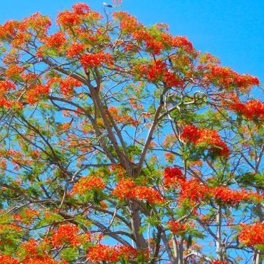 Mauritian flame tree
