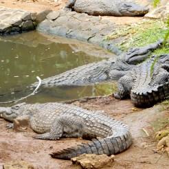 Mauritius La Vanille Nature Park Crocodile Park DSCN0253