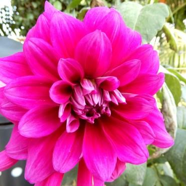 India flowers pink cherrylsblog.com DSCN9291