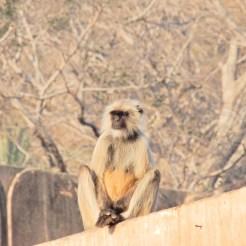 India Ranthambore Safari cherrylsblog.com monkey DSCN9618