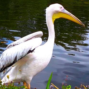 St James Park London cherrylsblog.com Pelican 20200831_141042