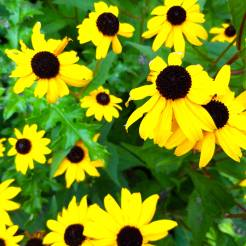 St James Park London cherrylsblog.com flowers yellow 20200831_141654