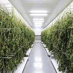cannabis-curing-and-drying-room