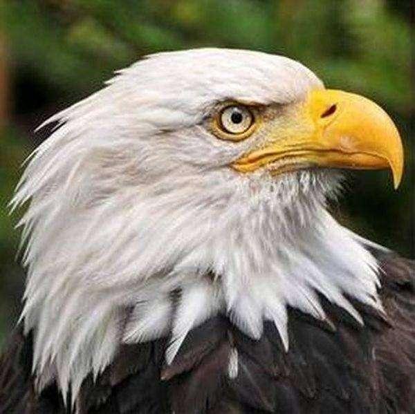 Вот почему орлов на гербах чаще всего изображают в профиль (2 фото)