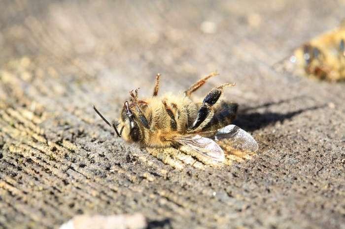 Чем грозит исчезновения пчел на Земле