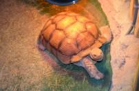 60 year old tortoise.