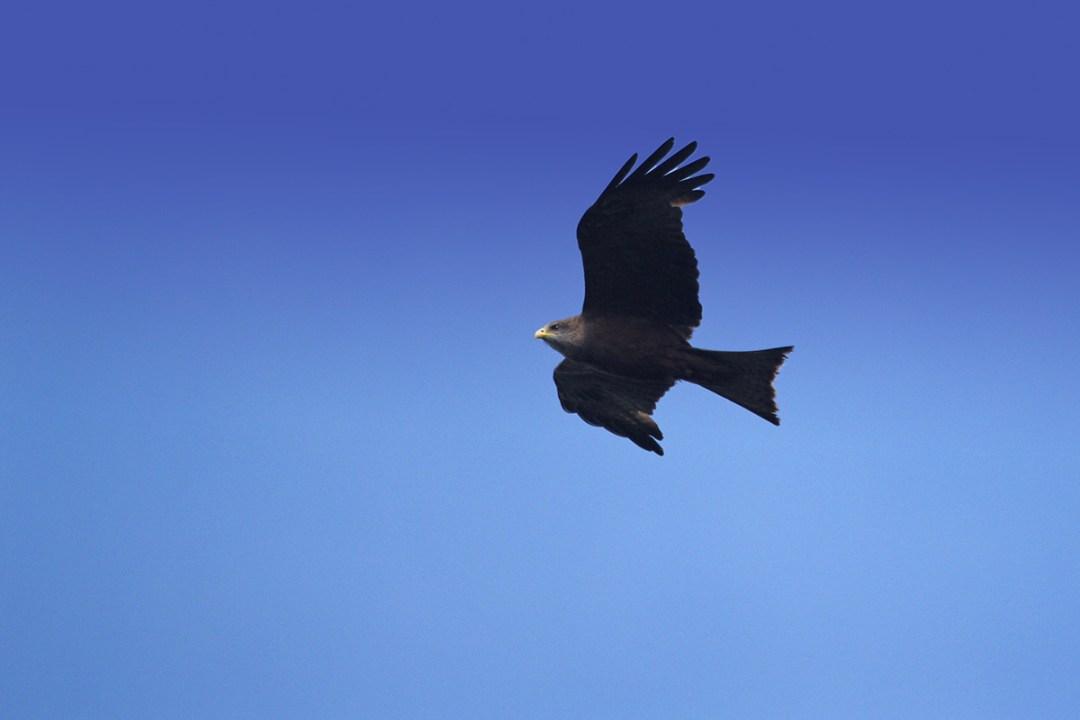 Yellow-Billed Kite in Flight