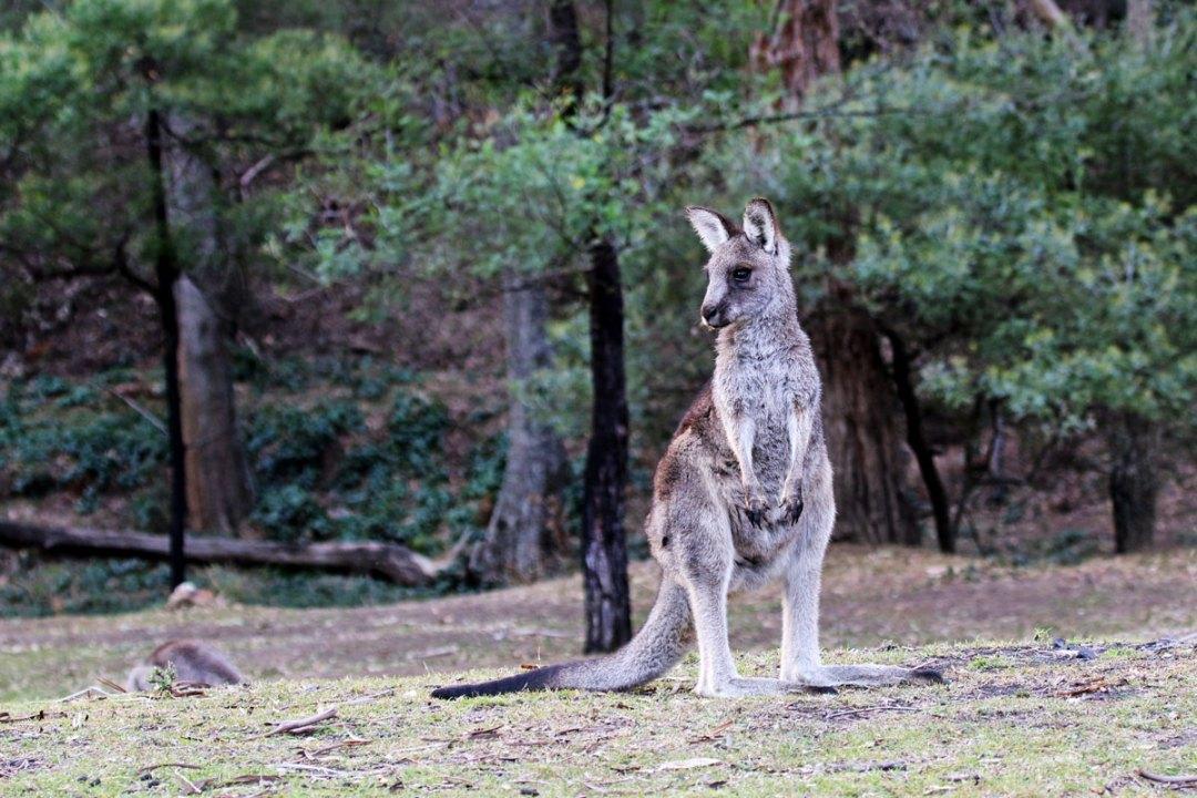 Kangaroo in Capertee Valley