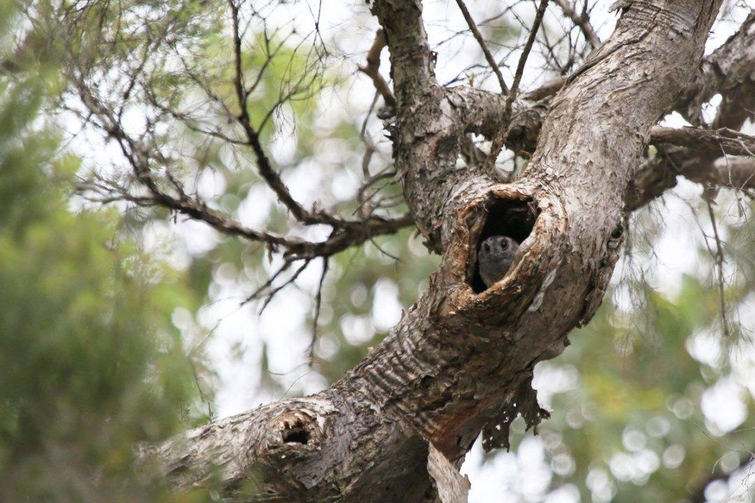 Australian Owlet-nightjar, Sydney