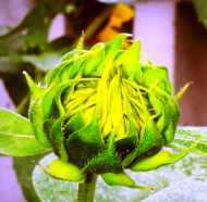 cropped-sunflower-bud-282-x-4481.png