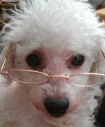 Max the Bichon Frise