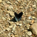 Black and blue butterfly on Skyline Trail east of Tucker Hill June 2011