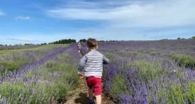 lavender fields oxfordshire, lavender fields gloucestershire, lavender fields worcestershire, Cotswold Lavender