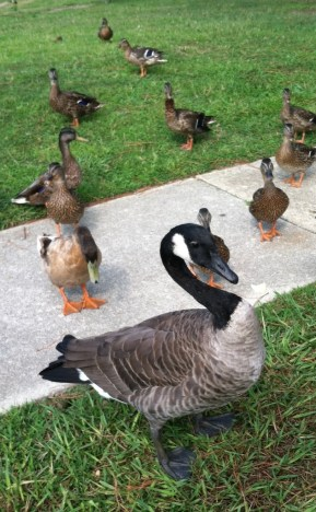 Geese, ducks and other wildlife make Cheshire Forest their home.