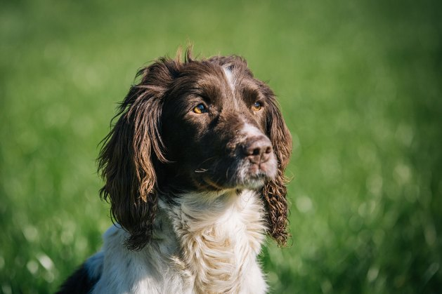 CheshireGundogs-57