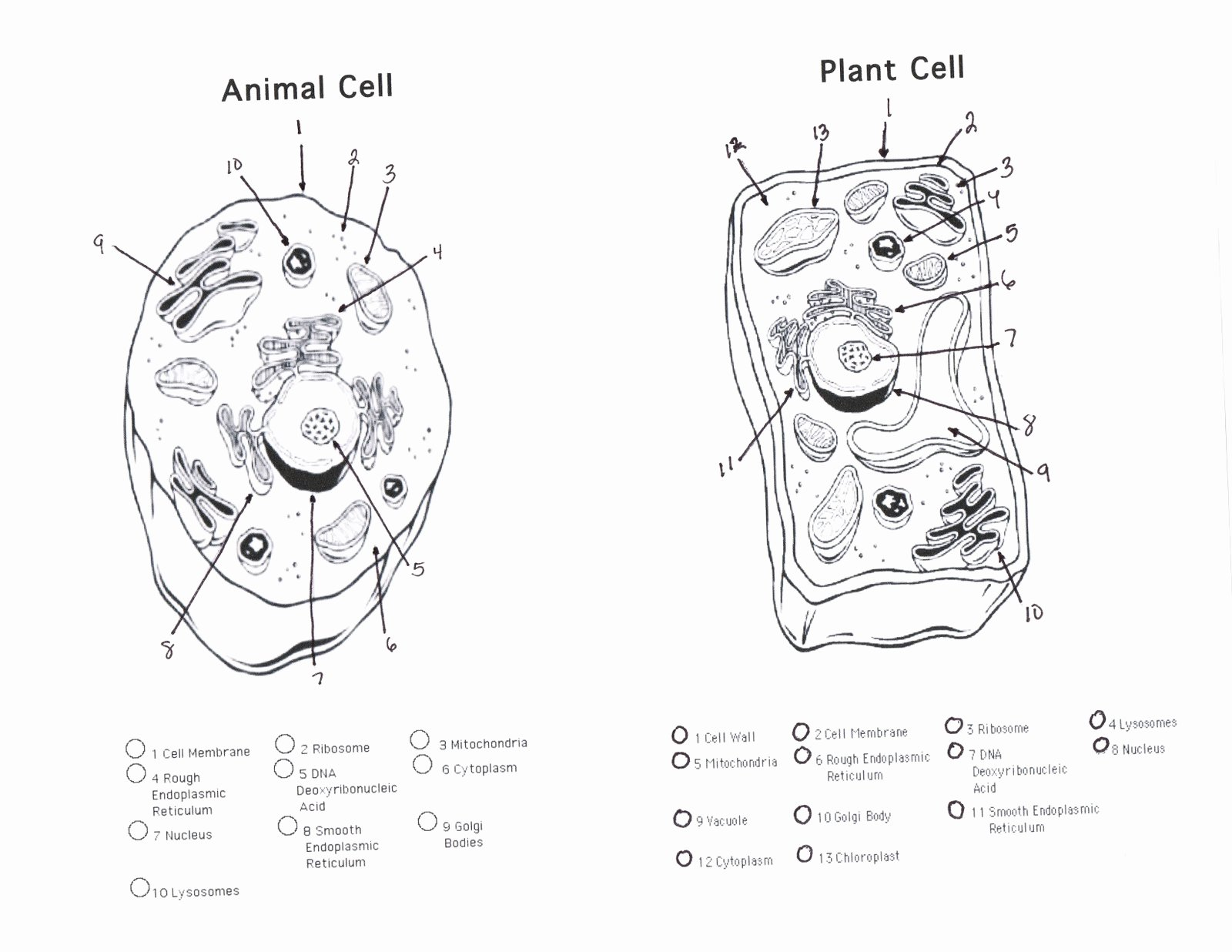 49 Animal Cells Coloring Worksheet