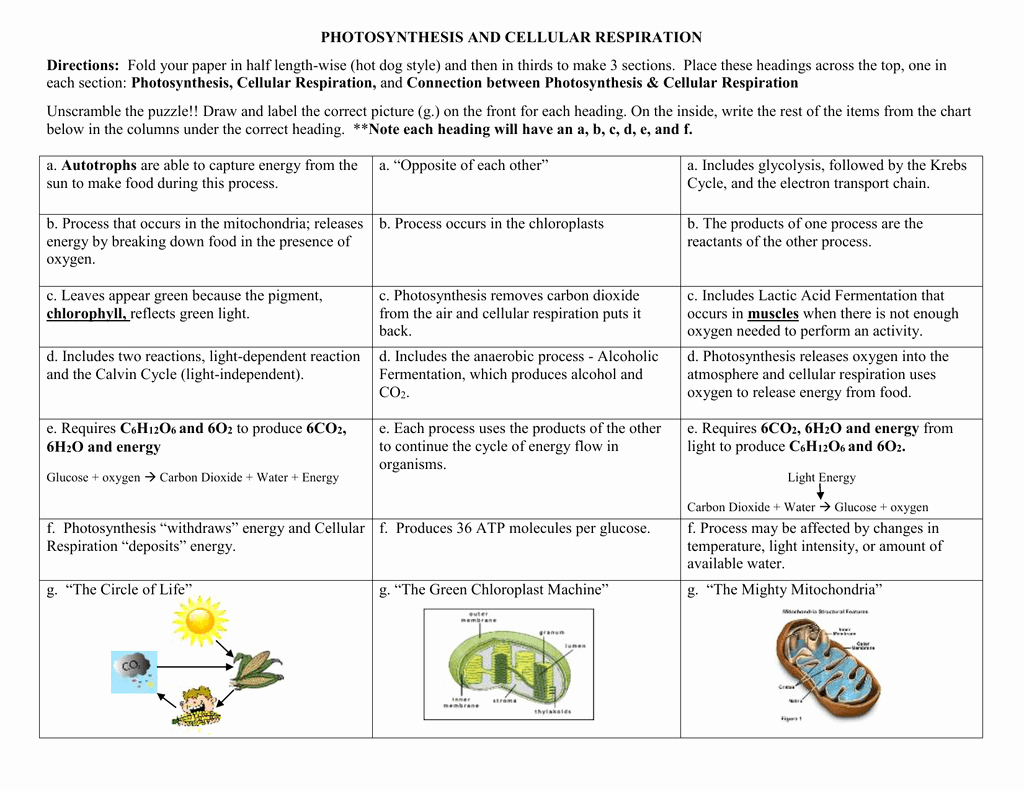 49 Photosynthesis And Cellular Respiration Worksheet