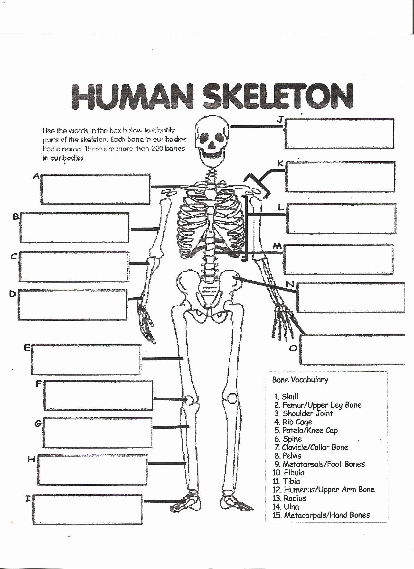 Skeletal System Labeling Worksheet Fresh Human