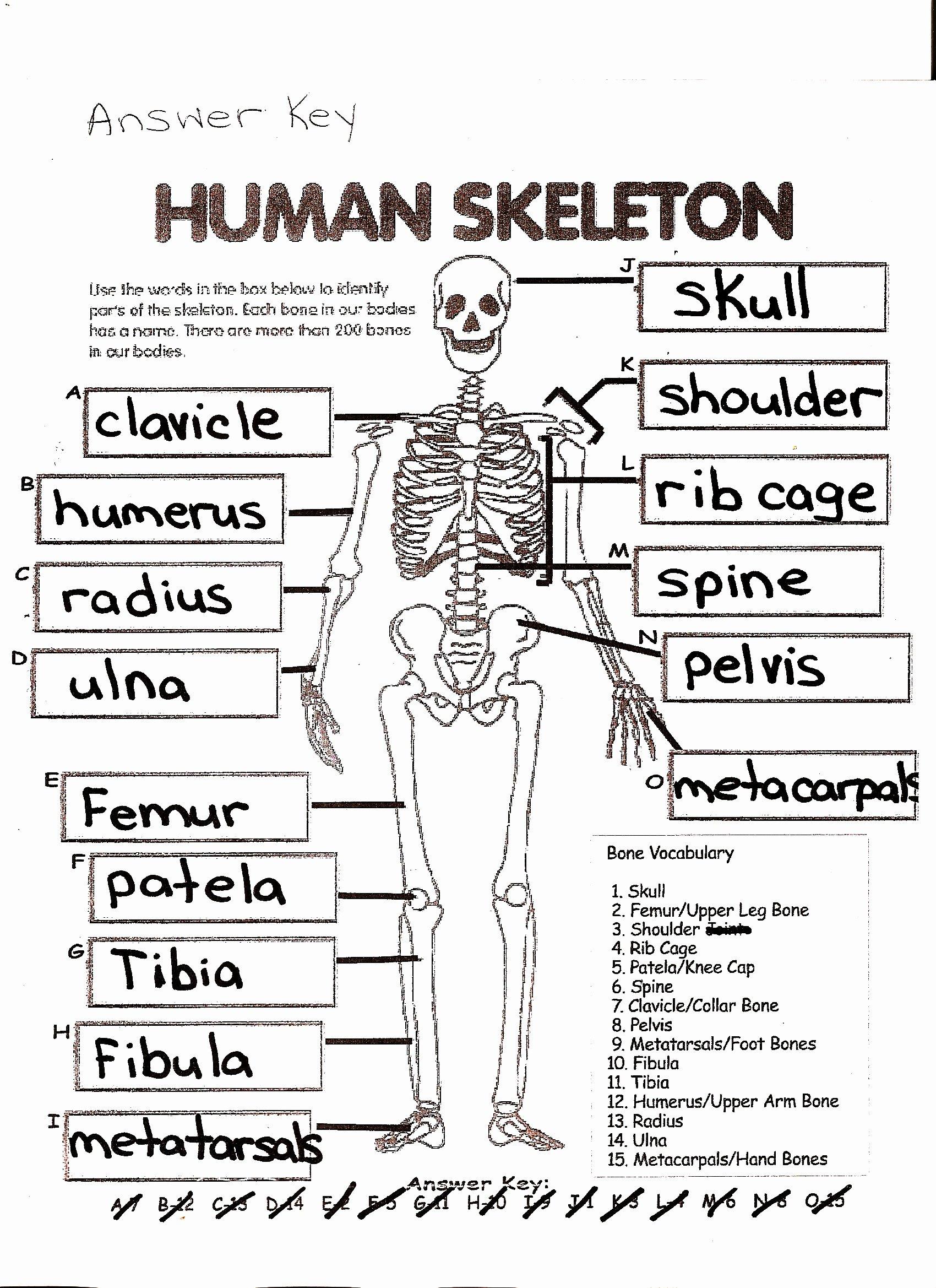 50 Skeletal System Worksheet