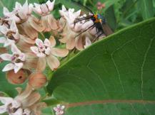 Centucha moth in the milkweed