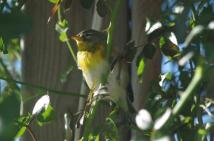 Northern Parula tucked into the rose trellis