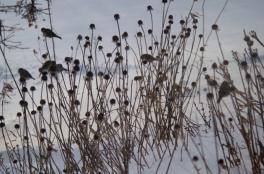 American Goldfinch in the Rudbeckia seedheads