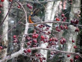 A cold morning for this Robin in the Crab Apple
