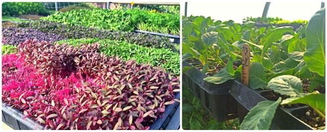 Lettuce & Herbs