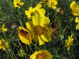 Winter sown seeds 7 - Coreopsis species - by Barb Gorges