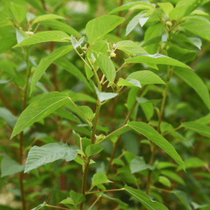 A photo of Jute Mallow green leaves