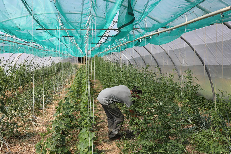 Jimmy qui ramasse ses tomates dans sous une serre - Potage et Nature : une ode à la permaculture au coeur de la Bretagne