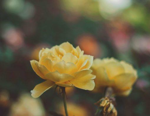 Conseils jardinage : Comment planter une roseraie au cœur du jardin