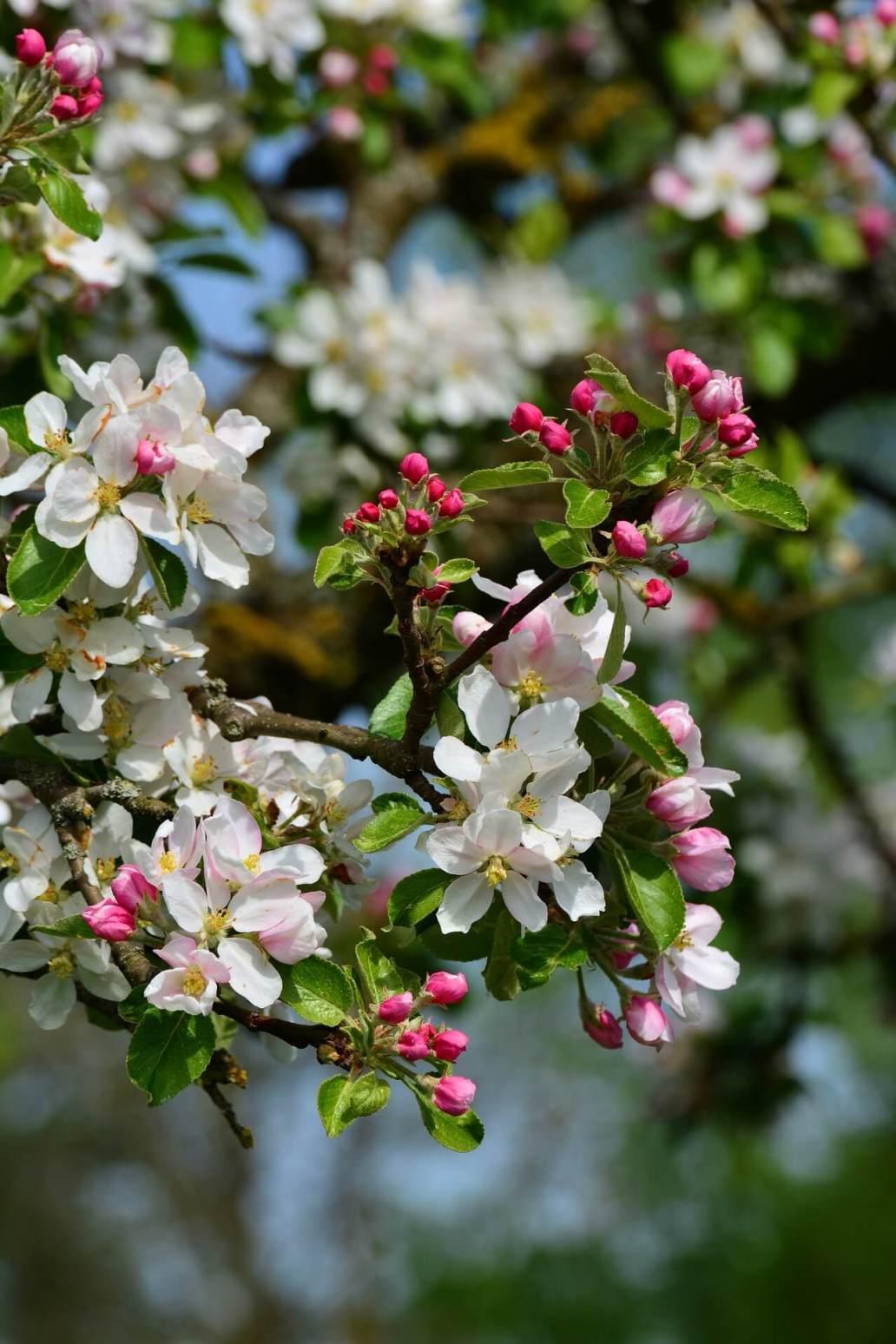 apple blossoms 3863005 1920 2 - Comment aménager et préparer son jardin à l'arrivée du printemps