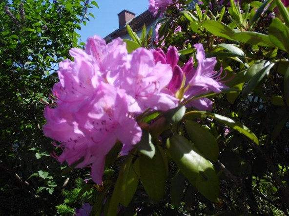 2105 Rhododendron 07
