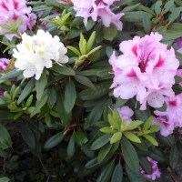 2105 Rhododendron 18
