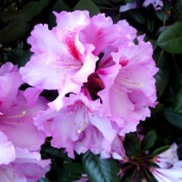 2105 Rhododendron 19